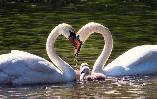 Love, Family, Swan Family, Young Swans