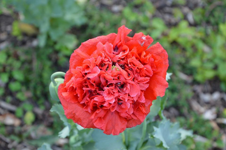 Poppy, Flower, Spring, Nature