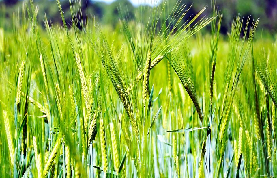 Manejo de enfermedades en trigo en el sudeste de Buenos Aires
