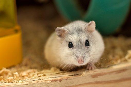 Hamster, White, Cute, Huisdier