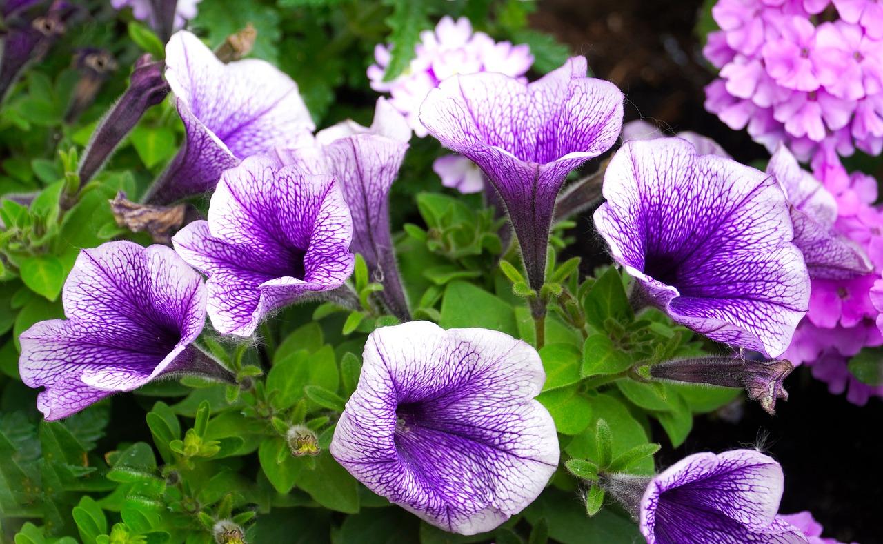 Петуния Цветы Цвести Сад - Бесплатное фото на Pixabay