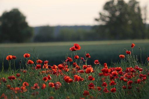 Rote Mohnblumen, Blumen, Blühen, Wiese