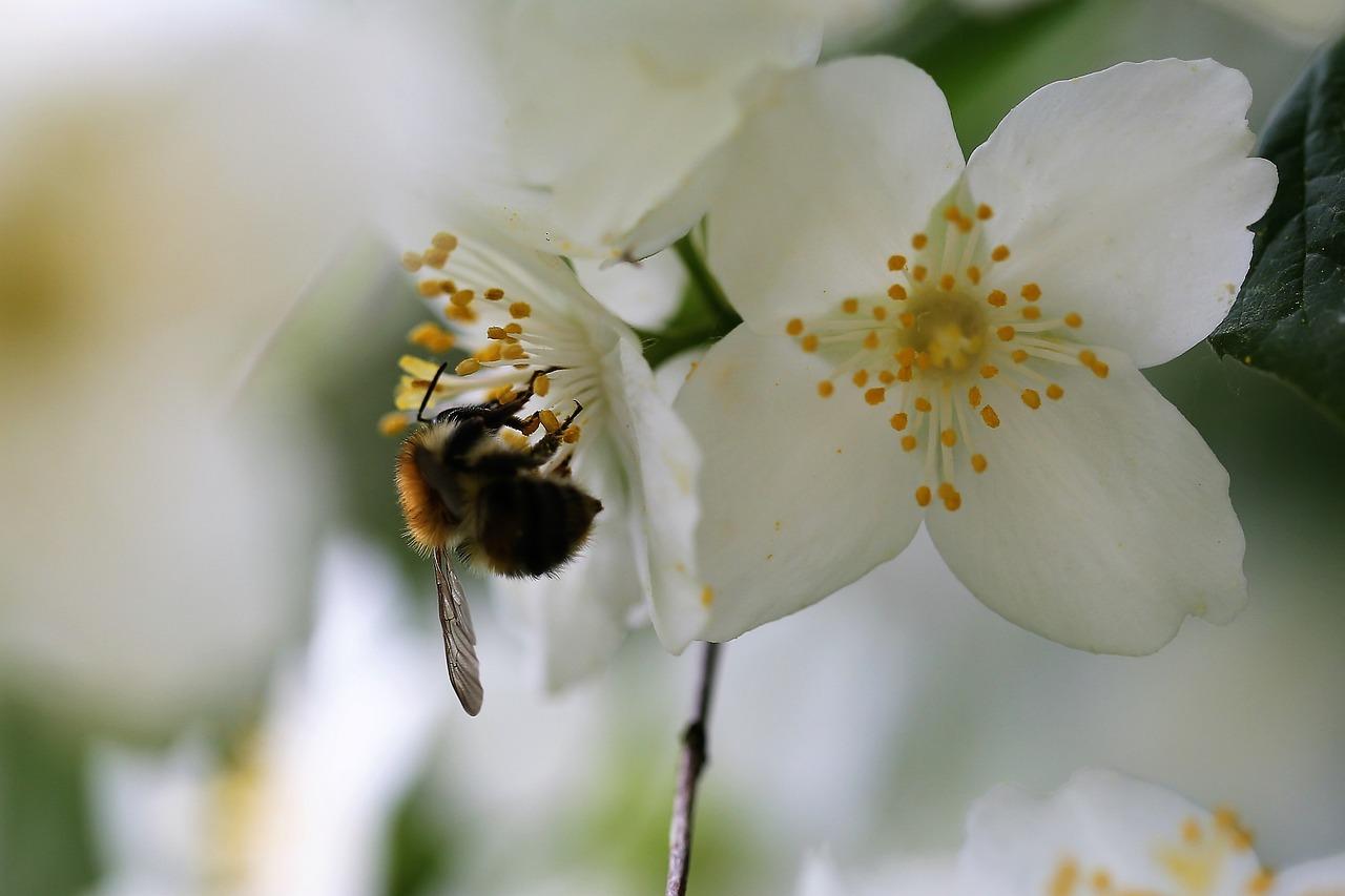 Lebah Pada Bunga Melati Cabang Foto Gratis Di Pixabay