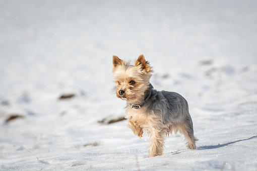 Teacup Yorkie Puppies for sale in South Carolina
