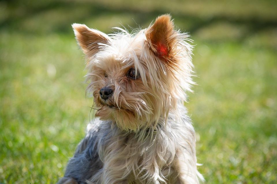 Dog, Yorkie, Yorkshire Terrier, Small, Purebred Dog