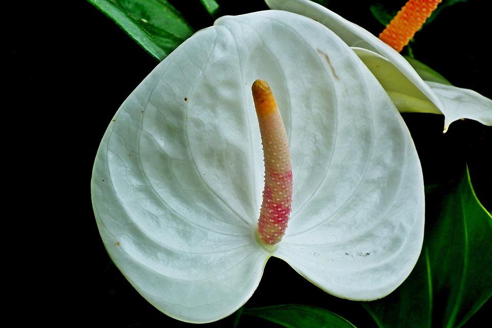 Anthurium Bunga Putih Foto Gratis Di Pixabay