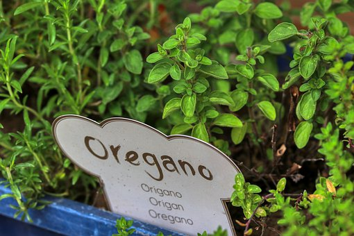 Oregano, Herbs, Bed, Kitchen, Green