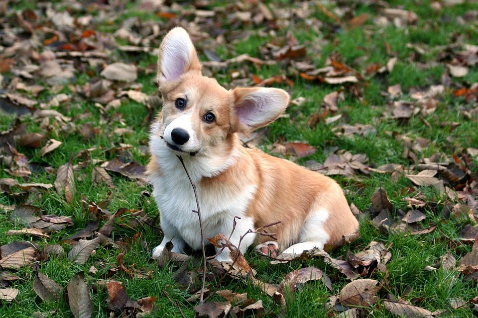 Pembroke, Welsh Corgi, Corgi, Red And White, Cute, Pup