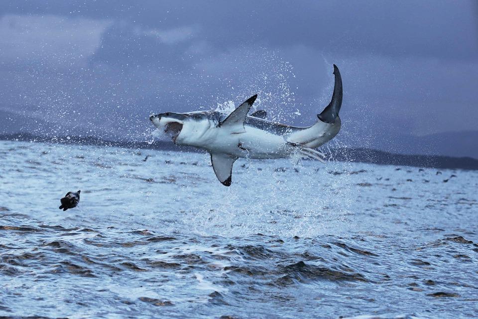 Gran Tiburón Blanco, Gran Blanco, Tiburón, Peligroso