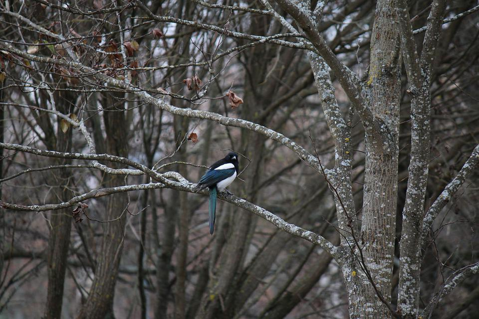 Magpie Bird Tree - Free photo on Pixabay