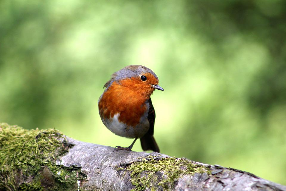 Uccello, Robin, Piuma, Becco, Piumaggio, Ala, Albero