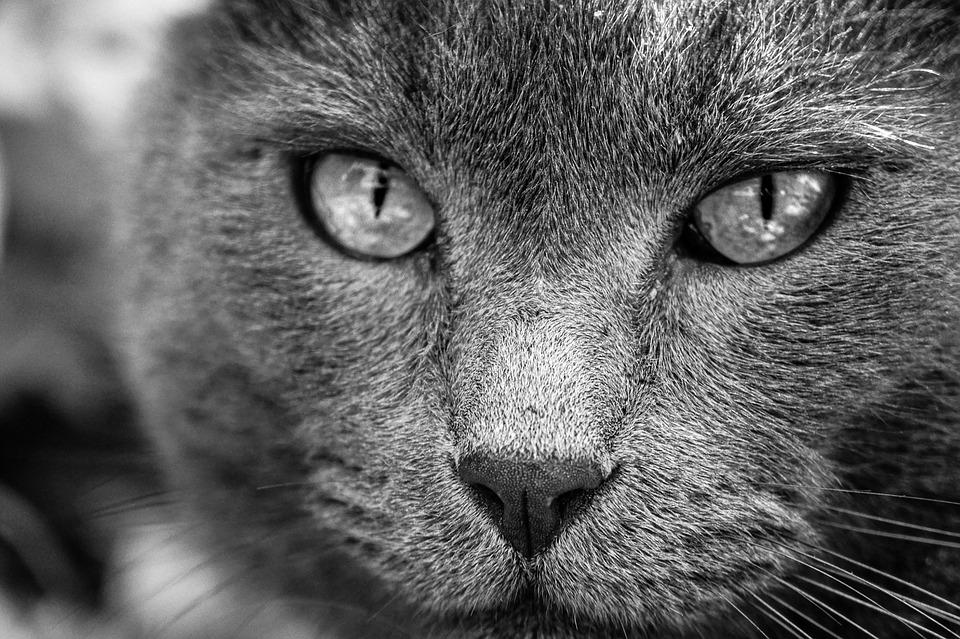 Animal, Cat, Animaux, Domestique, Portrait De Chat