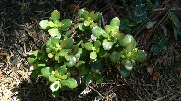 Jade, Succulent, Green, Plant