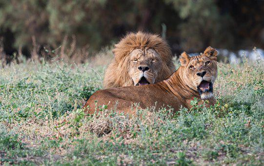 Lions, Safari, Predator, Animal, Cat