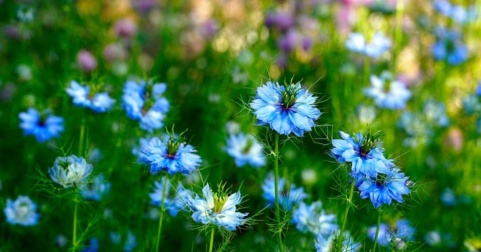 Vergine Nel Verde, Fiore, Natura, Flora