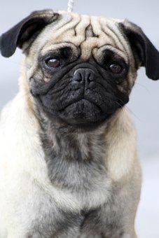 Mops, Große Augen, Happy Dog, Niedlich
