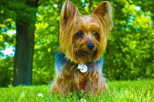 Dog, Yorkie, Cute, Doggy, Sweet, Pet