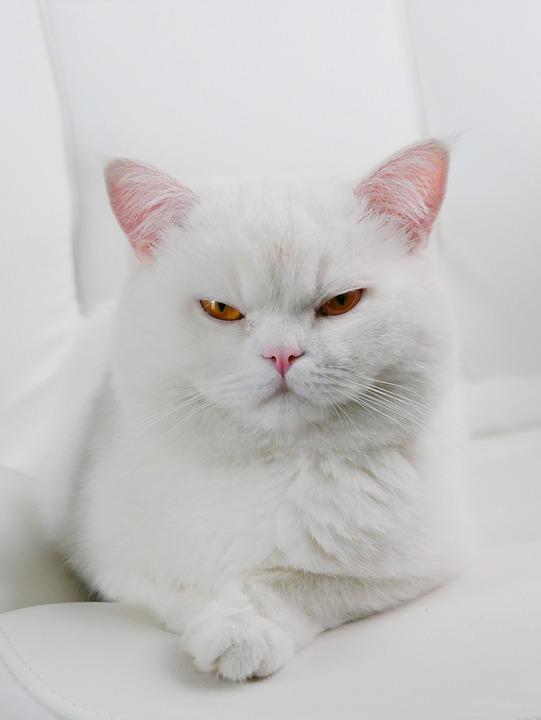 Kot, Biały Kot, Białe Koty, Kitten, White, Pet