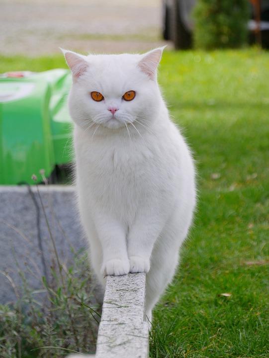 Kat, Witte Kat, Kitten, Huisdier, Dierlijke, Cute