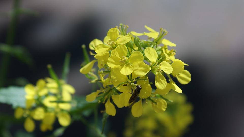 Senape, Mosterdplant, Giallo Senape, Pianta, Fiori