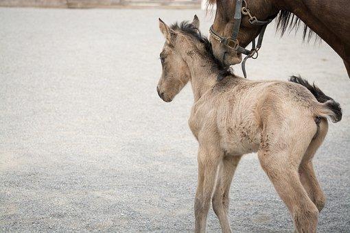 Foal, Horse, Pony, Small, Baby Animal