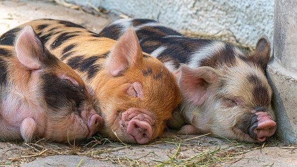Pigs, Piglet, Animal Babies, Cute