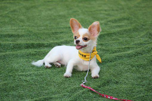 Chihuahua, Tiny Dog, Dog Competition