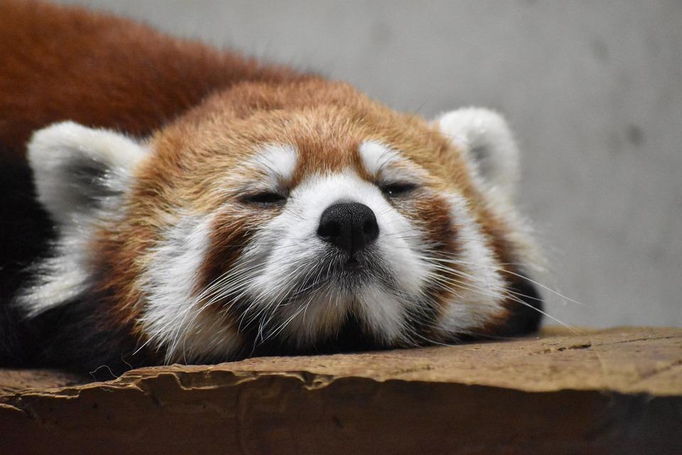 Redpanda, Bear, Zoo, Animal, Face, Sleep, Rest, Nap