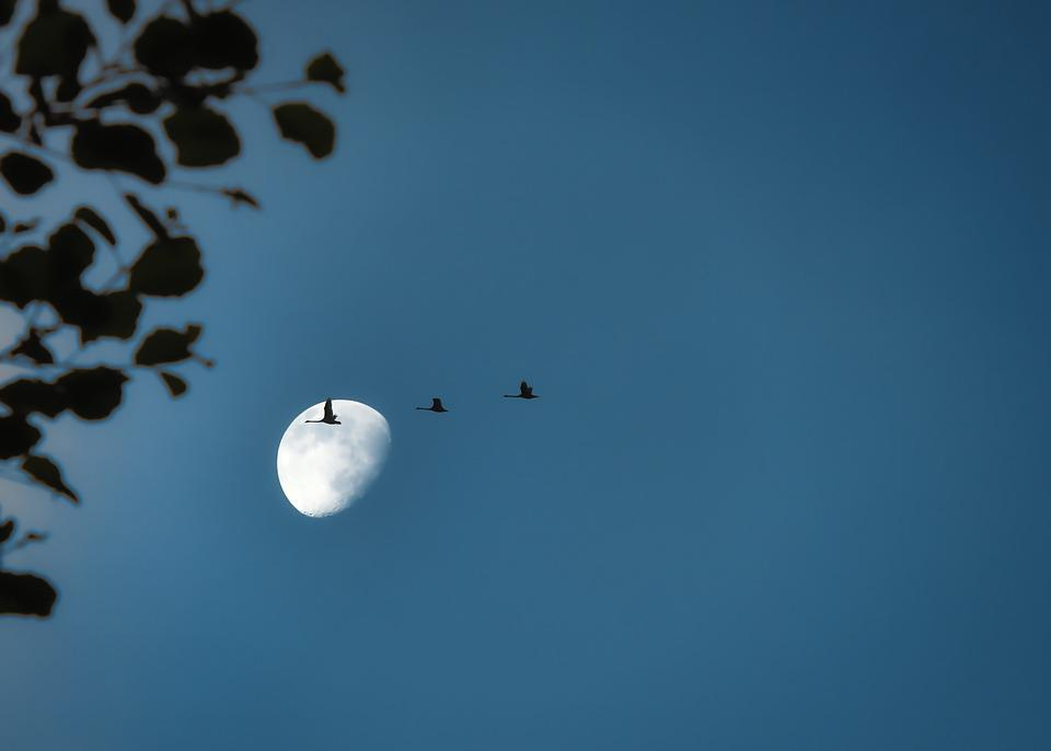 Migratory Birds, Cranes, Moon, Flock Of Birds, Birds