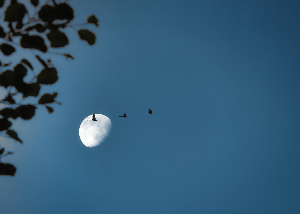 Migratory Birds, Cranes, Moon, Flock Of Birds, Birds