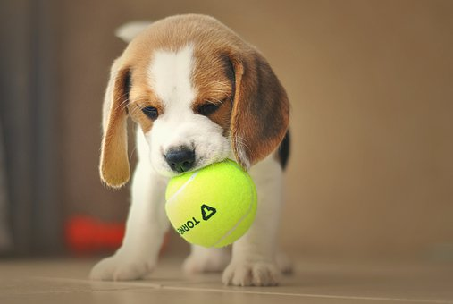 Puppy, Dog, Beagle, Cute, Charming