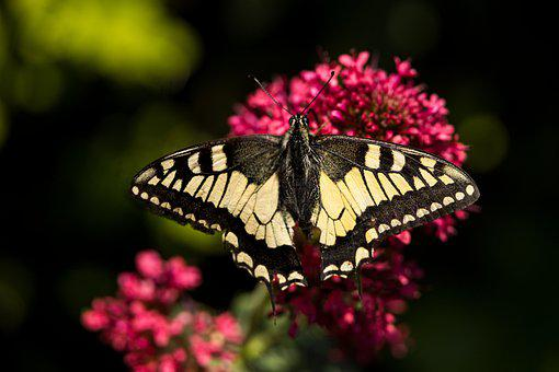 Butterfly, Dovetail, Nature, Insect