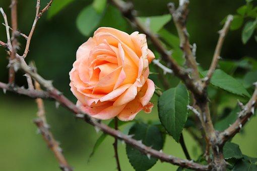 Rose, Flowers, Nature, Love, Romantic