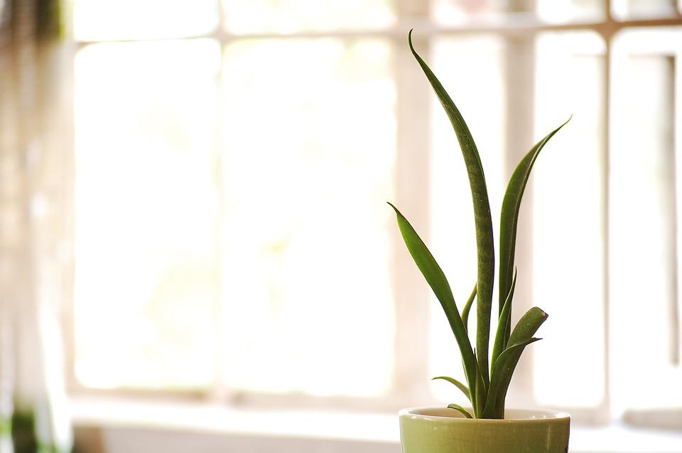 Vaso, Verde, Planta De Serpiente, Planta, Sansevieria