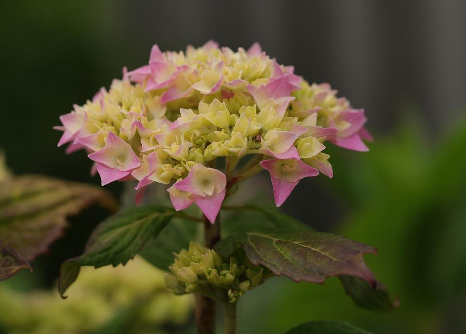 Hydrangea, Flowers, Nature, Bush, Pink, Flora