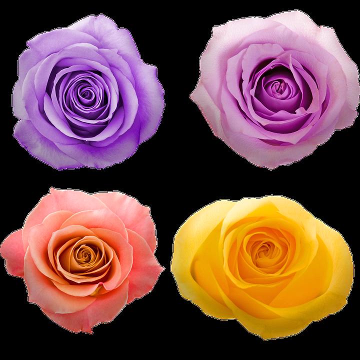 Bunga Mawar Warna Warni Ungu Gambar Gratis Di Pixabay