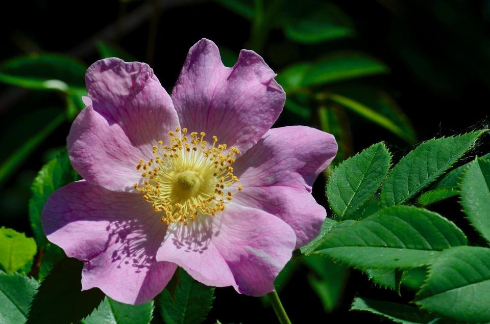 rosa selvagem para foliculite