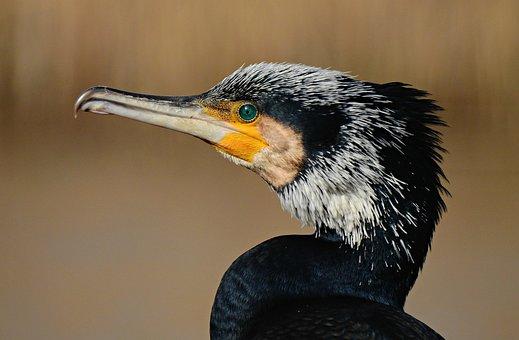 Cormorant, Water Bird, Animal, Wildlife