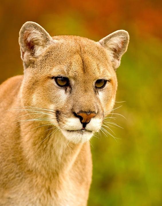 Wildlife, Mountain Lion, Puma, Nature, Predator, Mammal