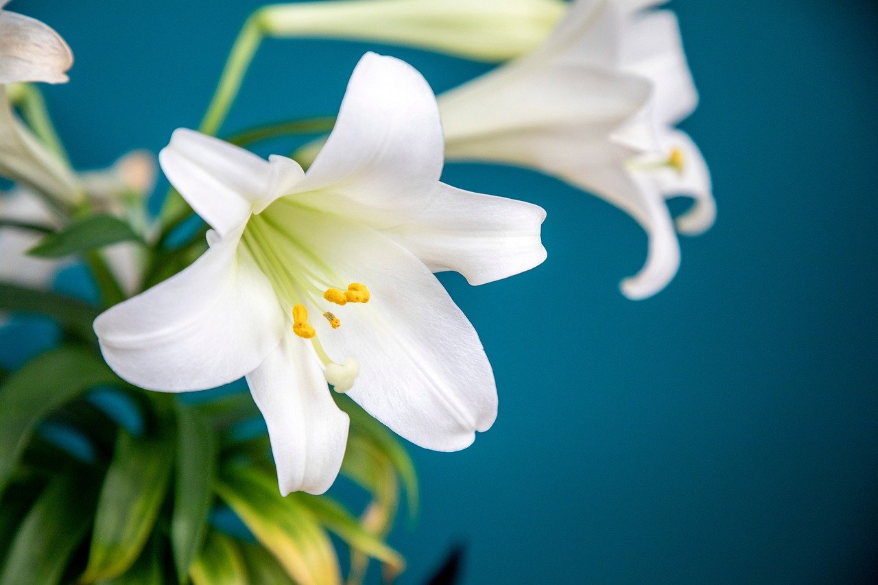 Easter Lily Flower - Free photo on Pixabay