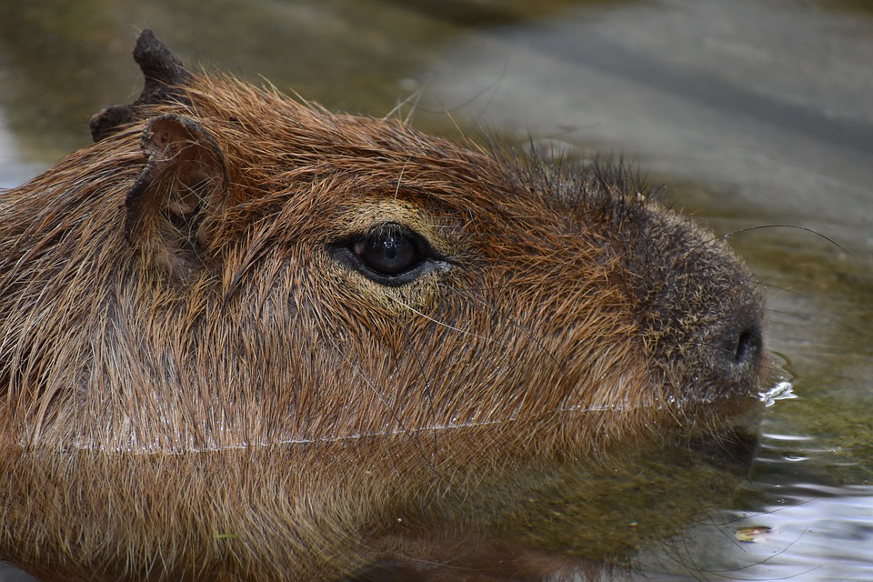 Capibara, Rat, Animal, Zoo, Big, Brown, Bathing