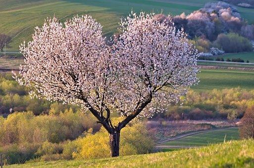 Tree, Nature, Heart, Cherry, Flowers
