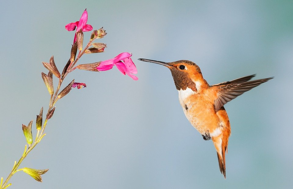 Hummingbird, Bird, Nature, Wildlife, Flowers, Nectar