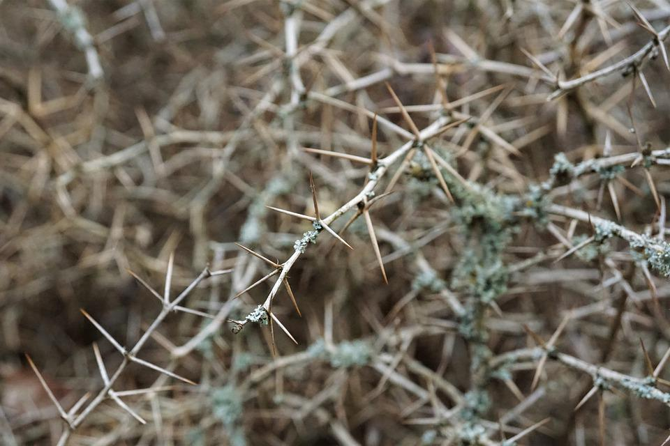 Dornen, Hecke, Spitz, Garten, Dornig, Blätter, Strauch