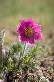 Anemone, Flower, Blossom, Bloom, Purple