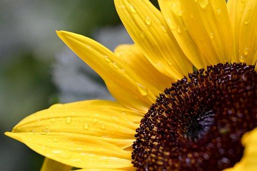 Sunflower, Flower, Blossom, Bloom