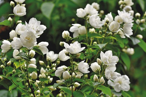 400 Jasmine Flower Images Pictures In Hd Pixabay
