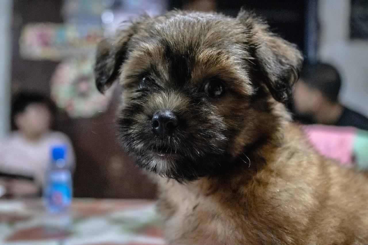 Shih Tzu Puppy Free Photo On Pixabay