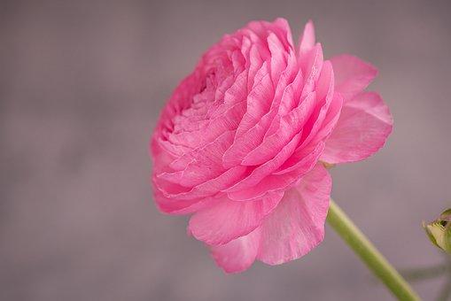 Ranunculus, Pink, Blossom, Bloom, Flower
