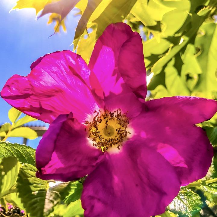 rosa selvagem formula
